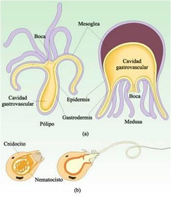 Cavidad gastrovascular en invertebrados