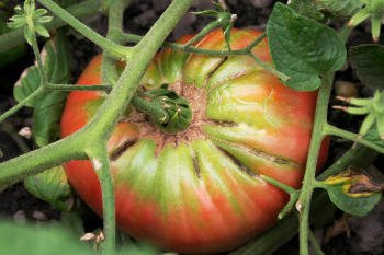 Brandywine Tomato