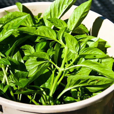 basil leaves in bucket