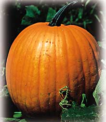 The Field Pumpkin