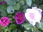Min rosenträdgård