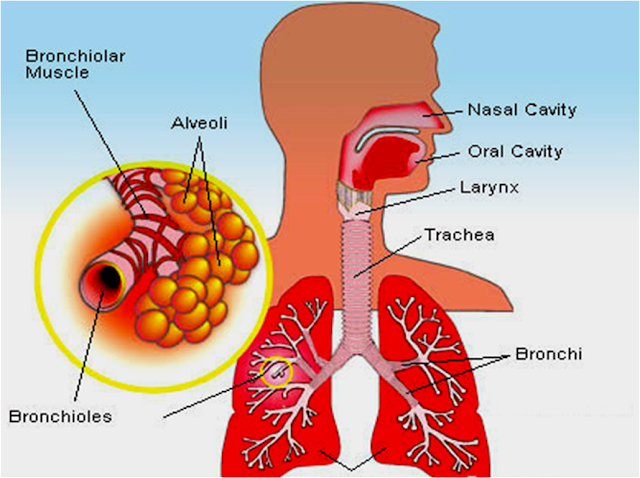 asthma allergy and air tubes Asthma is a disease of the airways, the small tubes which carry air in and out of the lungs when exposed to certain asthma triggers (such as cold air.