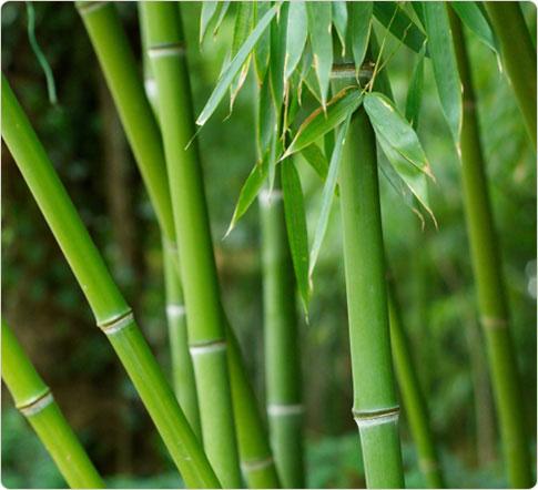 . Batang bambu ini tumbuh tinggi menjulang di antara batang-batang ...