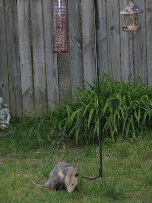 lawn rat