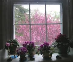 Violetas à janela