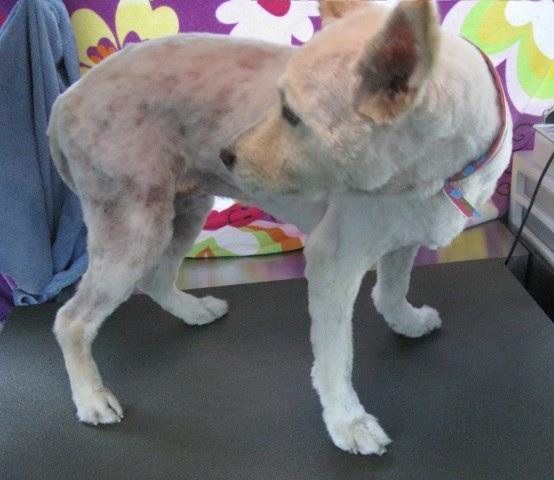 Shaving Cat Help With Fleas