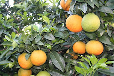 Orangen aus Lucca