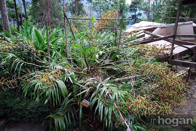 Malaysian Tiger Orchid Plant