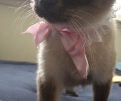 Pink ribbon on Siamese cat