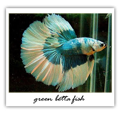 Betta fish pale bloated for Bloated betta fish