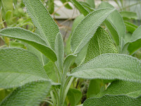 Sage For Night Sweats