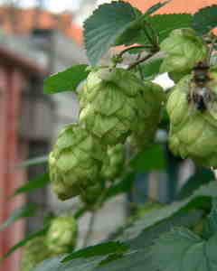 Picture of Hops on the vine