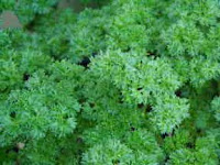 Photo of Curly Leaf Parsley