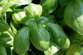 Basil in the Garden