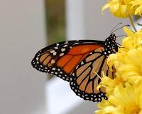 Butterflies in a Herb Garden