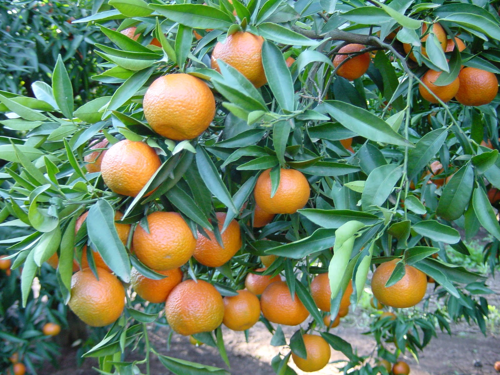 LES FRUITS COMMENÇANT PAR C Clementine2%281%29