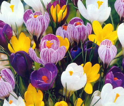 Crocus (photo borrowed from the Internet)