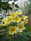 kamboja_kuning