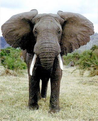 foto_gajah_afrika