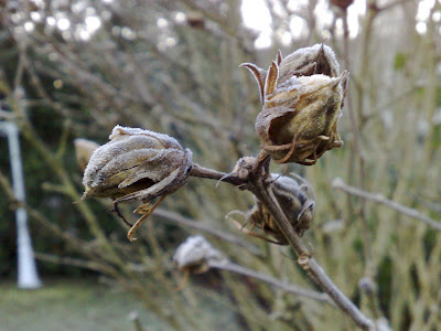 buds, frost, winter