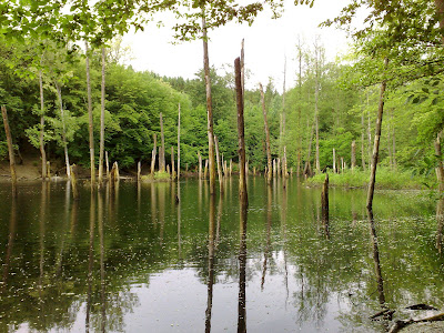 sunken trees, lake,  forest