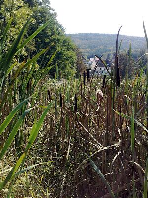 swamp, bullrushes