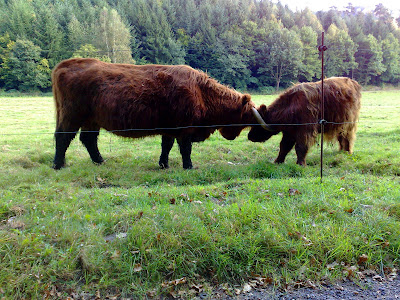 hairy cows