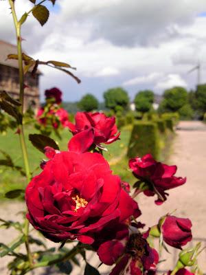 roses, garden
