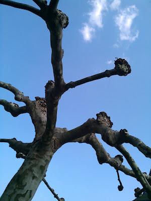 tree, pollard,