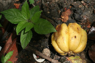 kodumpuli garcinia cambogia kachumpuli gives a distinctive sour flavor ...