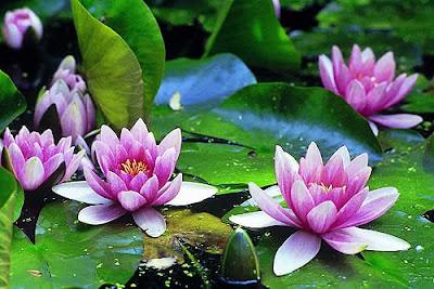 Las flores que nos gustan. Nimphaea