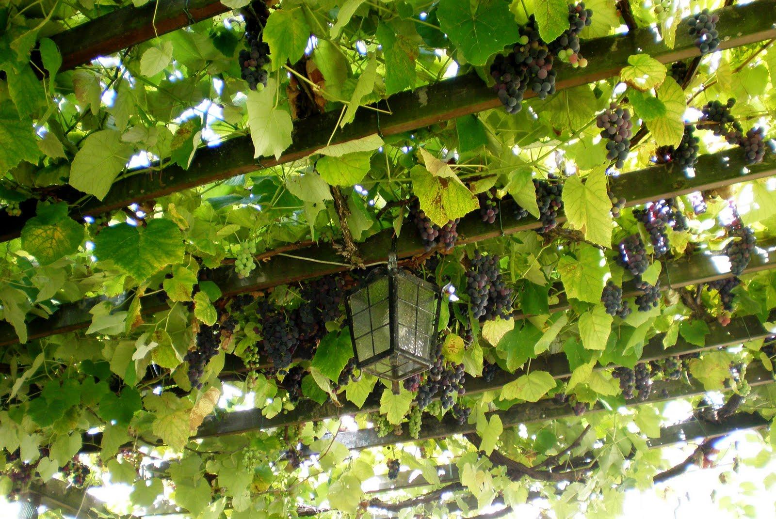 Grapevines On Pergola