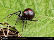 Viúva Negra (comum)