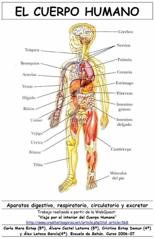 Único Imagen De Los órganos Dentro Del Cuerpo Bandera - Anatomía de ...