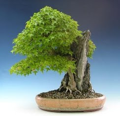 Plant Diseases Also Affect the Bonsai Garden photo