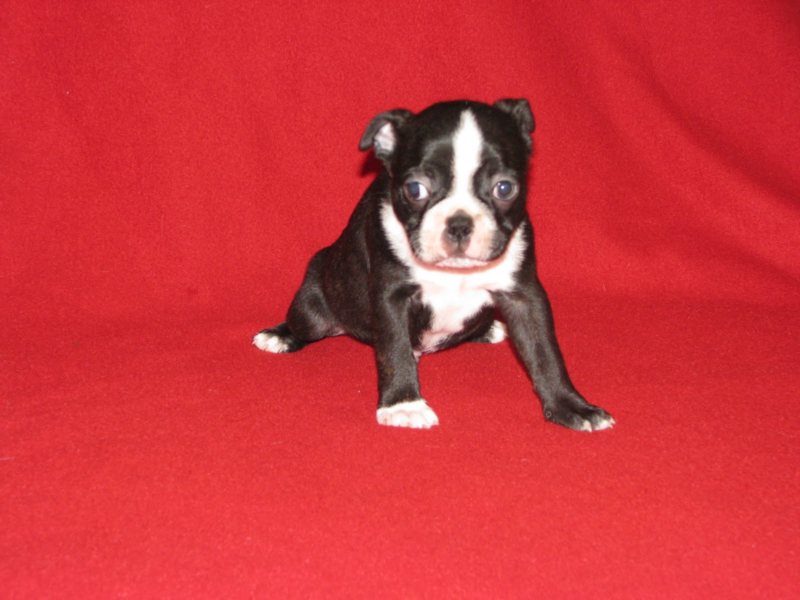 cute puppy Boston Terrier on red bed
