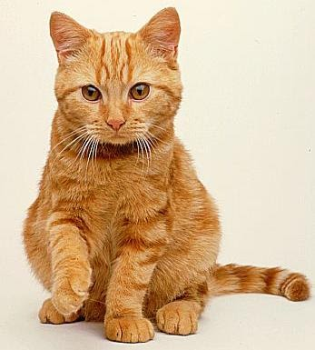 Kitty Cat Meow: British Tabby Shorthair - Shorthaired Cats