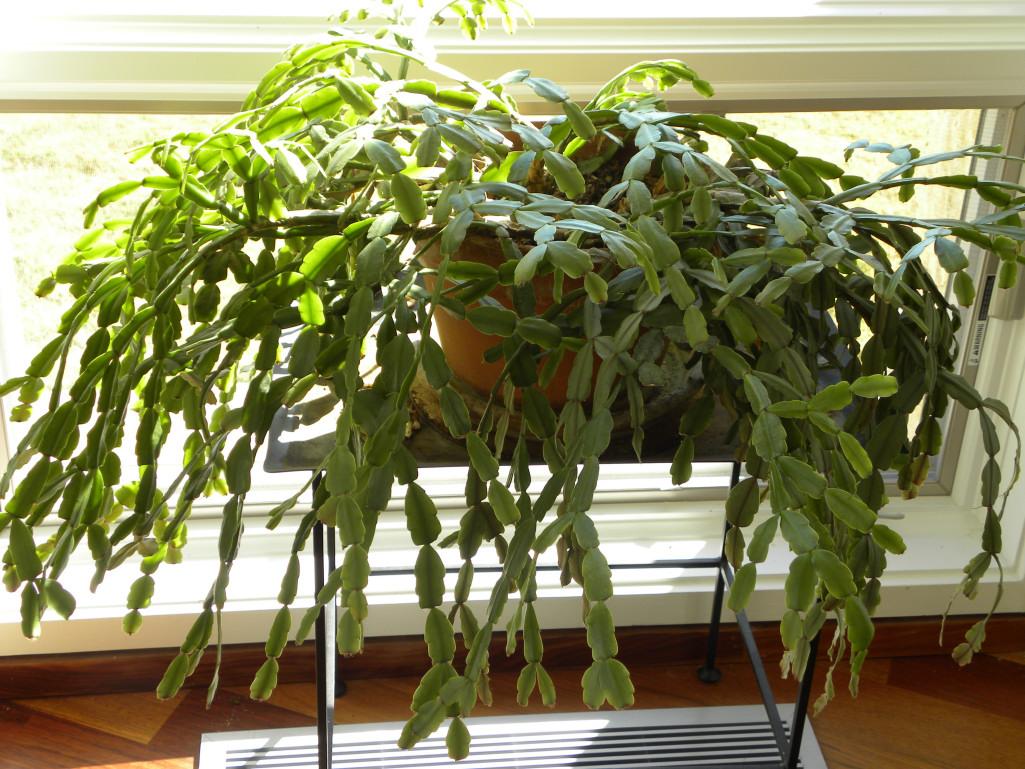 christmas cactus - How To Make A Christmas Cactus Bloom