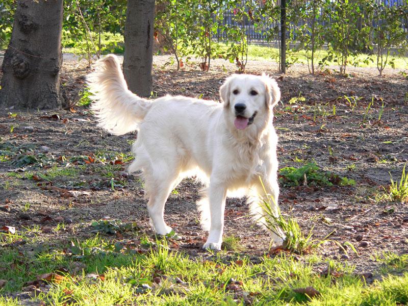 Sacando al perro (Libre) Golden%2BRetriever_2202