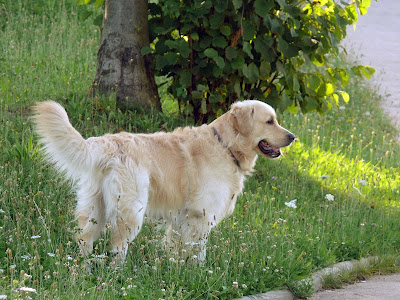 Golden Retriever 3 años, 3 years