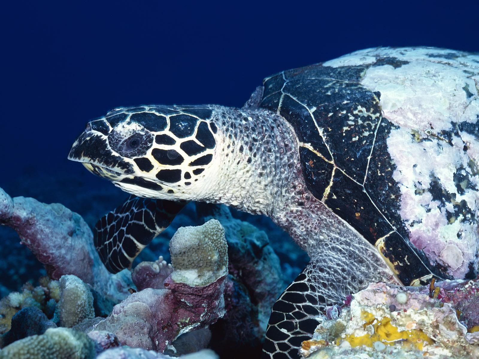 http://2.bp.blogspot.com/_sRGU_JXOz6E/TRX0ClWFTpI/AAAAAAAAAdg/w1QdaB7tLAI/s1600/Sea%20Turtle%20Wallpaper%20%2860%29.jpg