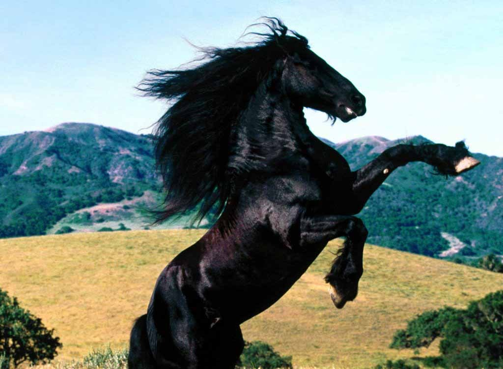 black horses wallpaper. Black Horse Wallpaper