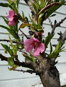 Ferskentre i blomst