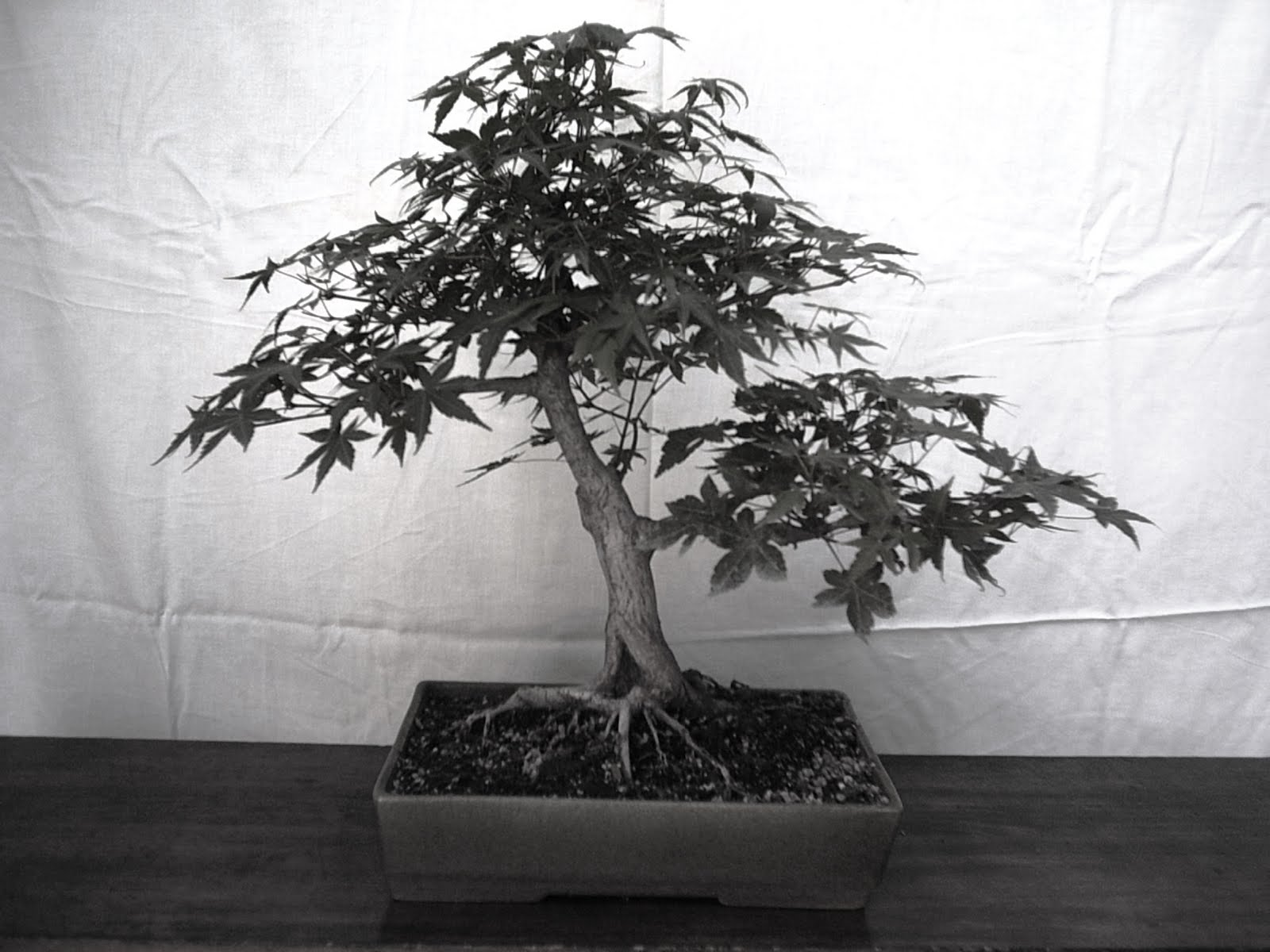 The Bonsai Blog Of Anibal Poublan Mayo 2010