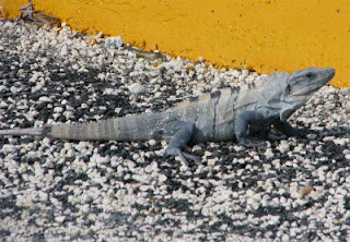 Little Iguana on dock