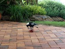 Butcherbird (pájaro carnicero :)