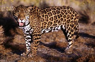 Jaguar on Felinos  Jaguar