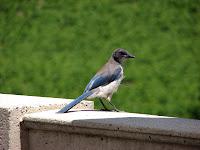 juvenile Western Scrub Jay