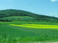 Field of rape plants