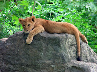 A lion cub relaxes in the shade at the Bronx Zoo